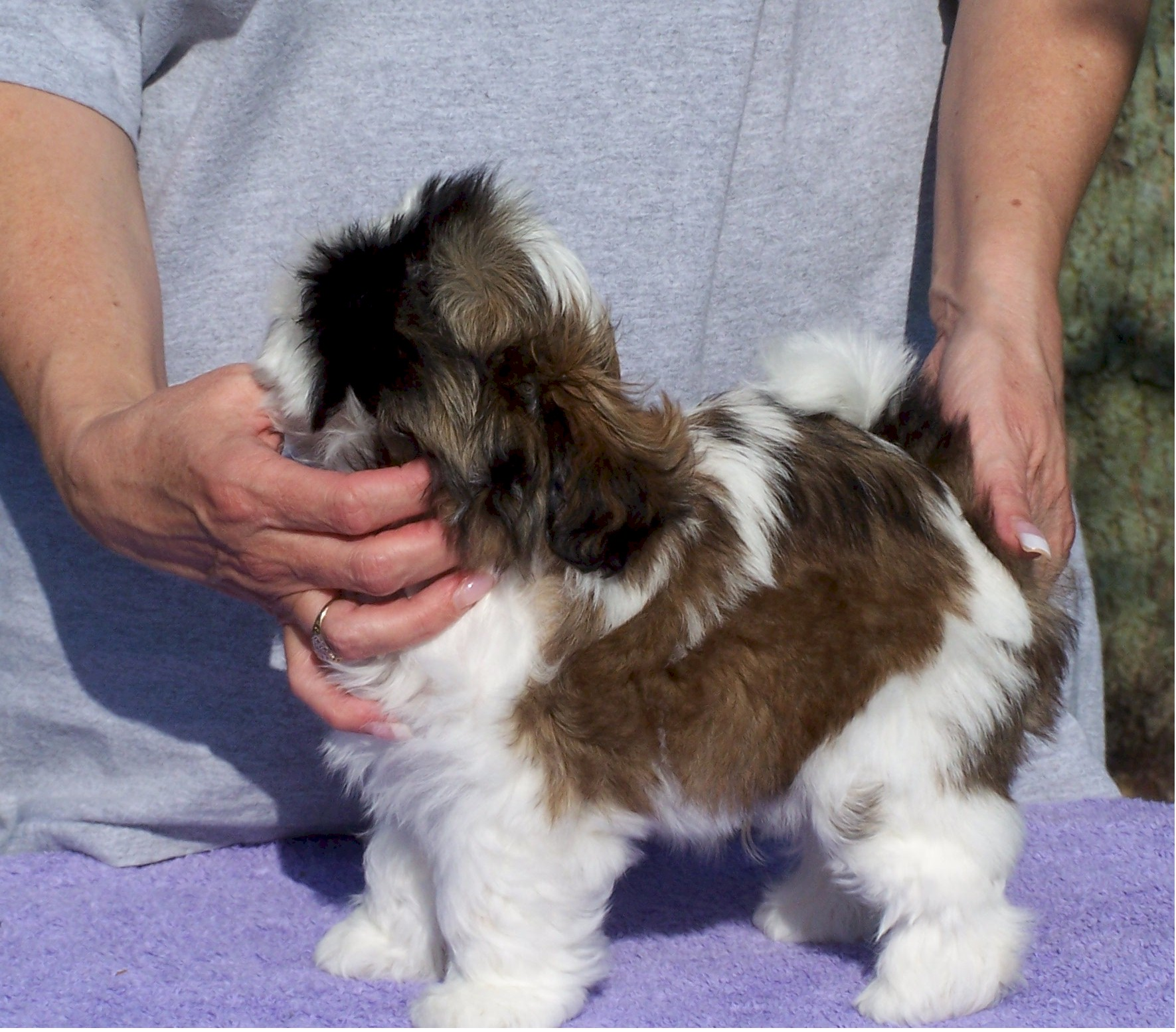 shih tzu puppies for sale indianapolis shih tzu breeder in indianapolis in 4868